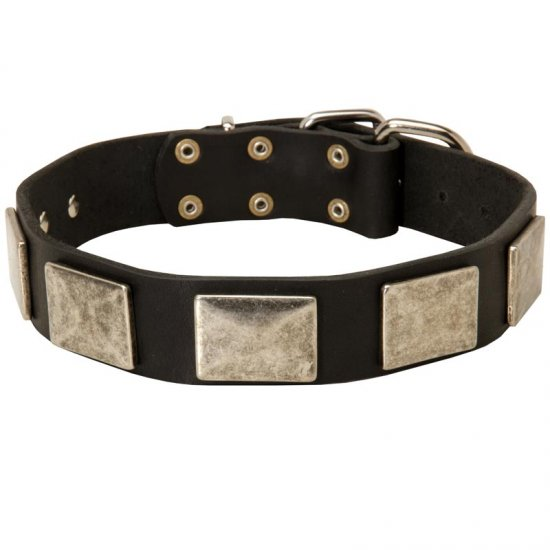 Leather American Bulldog Collar with Large Nickel Plates