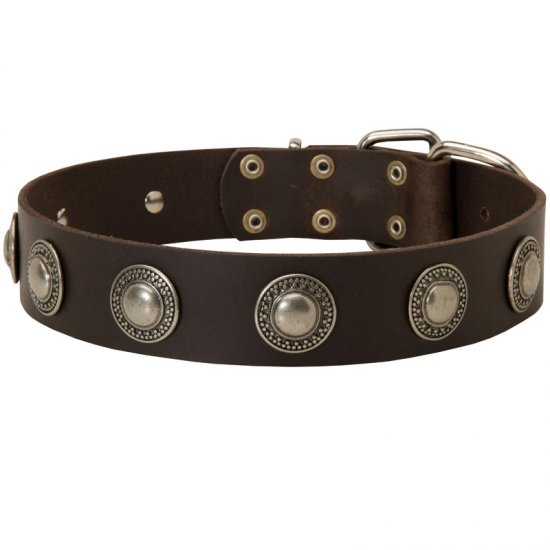 Leather American Bulldog Collar Decorated with Silver Conchos